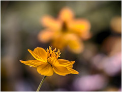 Orange Coreopsis with a twin shadow (Unni Henning - busy with family visiting :-)) Tags: orangecoreopsis yellow macro closeup blossom summer uptonhouse plant garden oxfordshire england bokeh