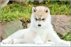 Queen of the Night Legend of the Spirit ** Quennie** (KubaJenna) Tags: siberianhusky sweet portrait impressedbeauty snow dog puppy siberianhuskypuppies