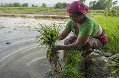 Farmer Bida Sen prepares rice seedlings for transplanting in Pipari, Dang. (CIMMYT) Tags: nepal csisa cimmyt maize agriculture smallholder farmer mechanization asia