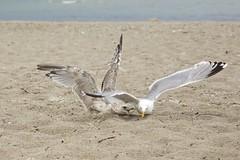 That is mine! Mine! Mine! (proefdier) Tags: beach brasilien europeanherringgull gull larusargentatus meer mowe ostsee sand schleswigholstein sea silbermowe sommer strand summer