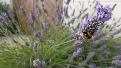 Lavender Bee (Richard Winskill) Tags: bees insects lavender plants nature