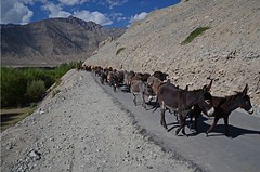 Donkeys, River Indus (dave beere) Tags: india ladakh buddism buddah monastery gompa