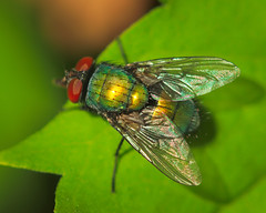 RG_324 ( Ed Lee) Tags: nikon 7100 sigma 105mm richmond green morning park outdoor color bright contrast macro closeup insect fly reflection wing compound eye leaf depthoffield bokeh hair