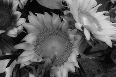 TowerGroveFarmersMarket_SAF4963-2 (sara97) Tags: copyright2016saraannefinke farmersmarket market missouri photobysaraannefinke saintlouis towergrovefarmersmarket flowers bw blackandwhite blackwhite
