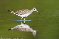 Solitary Sandpiper (Dorian Anderson Photography) Tags: solitary sandpiper shorebird