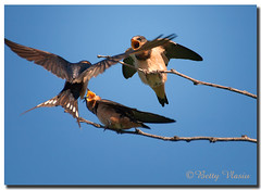 Barn Swalows (Betty Vlasiu) Tags: barn swalows swalow hirundo rustica bird nature wildlife