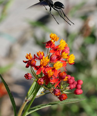 butterfly weed (foxtail_1) Tags: hahnhorticulturegarden hahngardens hahngarden butterflyweed asclepiastuberosa wasp