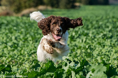 39/52 ZigZag 2016 (Flemming Andersen) Tags: dogs zigzag outdoor 52weeksfordogs hund animal jelling regionsyddanmark denmark dk
