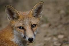 Renard (Mystycat =^..^=) Tags: renard renardroux vulpesvulpes animal mammifre france ayzacost argelsgazost hautespyrnes parcanimalierdespyrnes midipyrnes portrait canidae fox 65 coth5