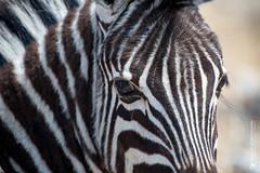 DSC_3288.JPG (manuel.schellenberg) Tags: namibia etosha nationalpark animal zebra