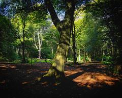Shadows and Light 9 (JodBart) Tags: woodlandtrust billinge wigan trees green shadows light fuji manuallens