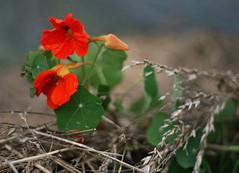 Nasturtium (janroles) Tags: flower bloom summer flickr canoneos400d nature nasturtium serene leaves depthoffield england lytescarygardens fleur plant blossom dof july