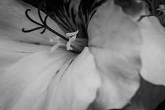 Estambres (cmarga28) Tags: flor artstico cerca bello delicada estambres pistilos foto graphs digital raw d750 nikon