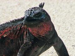 marine iguana on beach at gardner bay - espaola island, galpagos (Russell Scott Images) Tags: colourful marineiguanaamblyrhynchuscristatussspvenustissimus beach espaolaisland islaespaola hoodisland galpagos equator gardnerbay sand