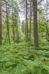 Sea of Ferns (macdonald.archie) Tags: lochlomond ferns forest green moss trees plants landscape