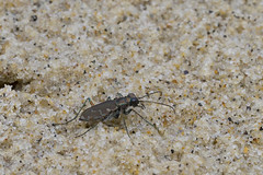 Iridescence (brucetopher) Tags: tigerbeetle tiger beetle cicindela beach beachtigerbeetle insect bug critter creature tiny beauty beautiful pattern elytra maculations shell camouflage fast tease frustrating elusive animal outdoor
