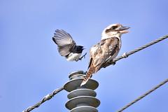 Willie Wagtail vs Kookaburra (Luke6876) Tags: kookaburra laughingkookaburra kingfisher williewagtail fantail bird animal wildlife australianwildlife