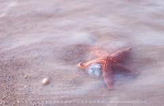 Cape Cod National Seashore Starfish (Mark VanDyke Photography) Tags: capecodnationalseashore eastham barnstablecounty beach coastguardbeach wave ocean sea atlanticocean eastcoast massachusetts ma starfish outdoors outside outdoorphotography