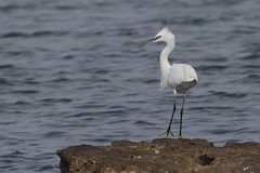Little statuesque egret (Sergei Golyshev (reloaded :)) Tags: little egret egretta garzetta bird birding telephoto nature fauna wildlife croatia europe south sea adriatic shore water rock white plumage crest