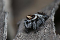 unid salticidae (Michael__Sanders) Tags: macro canon 100mm 70d jumper jumping spider