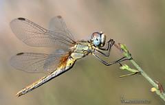 Sympetrum fonscolombii hembra (Lucas Gutirrez) Tags: sympetrumfonscolombii hembra liblula odonatos dragonfly alhamadegranada granada granadanatural lucasgutierrezjimenez