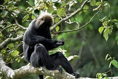 Nilgiri langur (harisankar) Tags: harisankar 2016 hsspublic nilgirilangur colobines lutung trachypithecus monkey oldworldmonkey kerala munnar westernghats