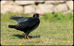 IMG_1918(2) (Russ Myners) Tags: russ myners russartworx photography canon sigma birds chough gower