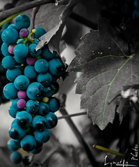 Raisins (Lymatly Photos) Tags: vgtation vigne grapes grappe raisin champagne vine country campagne vendanges harvest
