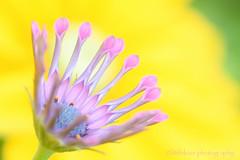 Thank you :)) (littlekiss) Tags: thankyou osteospermum africandaisy flower nature pink yellow vandusenbotanicalgarden vancouver littlekissphotography