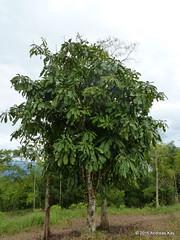 Grias neuberthii, Lecythidaceae (Ecuador Megadiverso) Tags: andreaskay ecuador flower griasneuberthii lecythidaceae tree