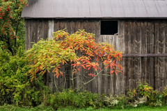 'Broadside of a Barn' (Canadapt) Tags: barn sumac bush tree rooftop autumn fall weathered wood michigan usa canadapt