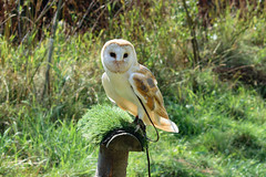Barn owl Wildwood 270816 (Dan86401) Tags: barnowl tytoalba bird wildlife animal nature tytonidae wildwood
