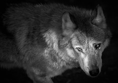 le loup (rondoudou87) Tags: wolf loup pentax k1 parc zoo reynou wild wildlife sauvage nature monochrome noiretblanc noir black blanc blackwhite