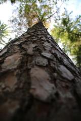 Fir in the Blackforest (jakoboberle) Tags: fir tanne wood holz blackforest schwarzwald germany deutschland german deutsch day tag summer sommer fall herbst macro makro
