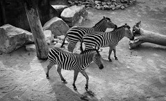Hybrids (EiaOlaf) Tags: zebra animal nature zoo torino turin italy family trip biology outdoor sand zoom hybrid galop nikcollection viveza silverpro lightroom canon uncolored structured animali africa savannah savana