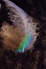 Plumes Paon et Poule (mailyse.bellanger) Tags: plumes paon douceur coocooning noir blanc marbr feather black white peacock