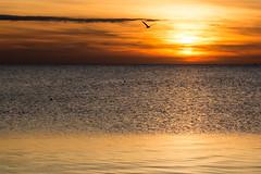 Sunset (jogi.sch) Tags: sunset bird baltic sea water sun nature outdoor travel canon 6d fehmarn germany holiday