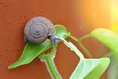 Curious snail in the garden on green leaf (racca2002) Tags: biofood bug closeup commonsnail concept crawling creature cuisine diet dine dinner ediblesnail eye farm frenchfood garden gardensnail gastropod grass green healthyeating laziness loneliness lonely macro meal mollusk natural nature nutrition organic proteinfood romansnail shell sliding slime slimy slithery slow slug snail snailleaf snailshell stilllife textured vacations wildlife