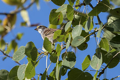 (Rick 2025) Tags: birds sparrows whitethroatedsparrow