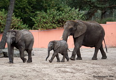 Olifantje Madiba (ditmaliepaard) Tags: olifantjemadiba safaripark beeksebergen hilvarenbeek a6000 sony