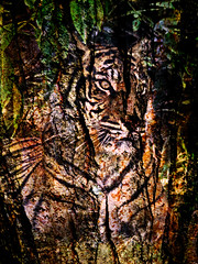 Tiger Tiger (ros.wood) Tags: sumatrantiger photoshopartistry composite