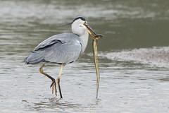 Heron Eel 3 (Ged Gill) Tags: leightonmoss eel heron slippery feeding