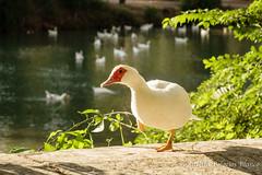Patos en los Jardines de Aranjuez (estebanjvr) Tags: aranjuez jardinesdearanjuez patos duck spain espaa primavera spring