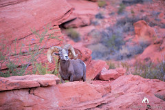 The Horn Section in a Rock Band (Jared Ropelato) Tags: 1124 2016 jaredropelato canon fall fineart landscape nationalpark nevada red rock ropelato southwest statepark valleyoffire wildlife bighorn sheep bighornsheep animal