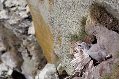 Youth _5002 (hkoons) Tags: latrabjargcliffs westfiords westfjords iceland latrabjarg birds cliff feathers fiord fjord flight fly island nest nests north peninsula seabirds wings