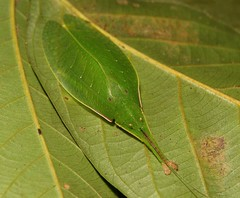 Leaf Katydid (Phyllomimus cf. sinicus, Pseudophyllinae, Tettigoniidae) (John Horstman (itchydogimages, SINOBUG)) Tags: insect macro china yunnan itchydogimages sinobug katydid bush cricket orthoptera tettigoniidae pseudophyllinae green topf25