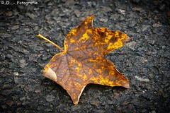 Ahornblatt / Maple Leaf (R.O. - Fotografie) Tags: ahornblatt ahorn blatt maple leaf herbst autumn alone allein outdoor panasonic lumix dmcfz1000 dmc fz1000 fz 1000 natur nature