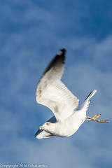 Leucophe_161009_Cte Vermeille (f.chabardes) Tags: ctevermeille roussillon octobre golandleucophe charadriiformes 4t navivoile sortielpo laruscachinnans larinae yellowleggedgull oiseaux france larids animaux 2016