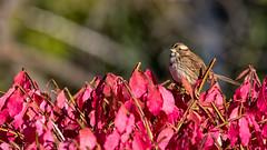 White Throated Sparrow (mbrousseau) Tags: whitethroatedsparrow burningbush red autumn