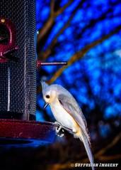 01-29-2016_09-01-42_ 01-29-16 09.01 AM-Edit-device-2000-wm (iSuffusion) Tags: crozet d7000 nikkor50mm18d virginia birds nikon titmouse unitedstates us
